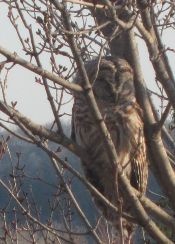Photo of the owl outside Main, by my colleague Lise Kildegaard.