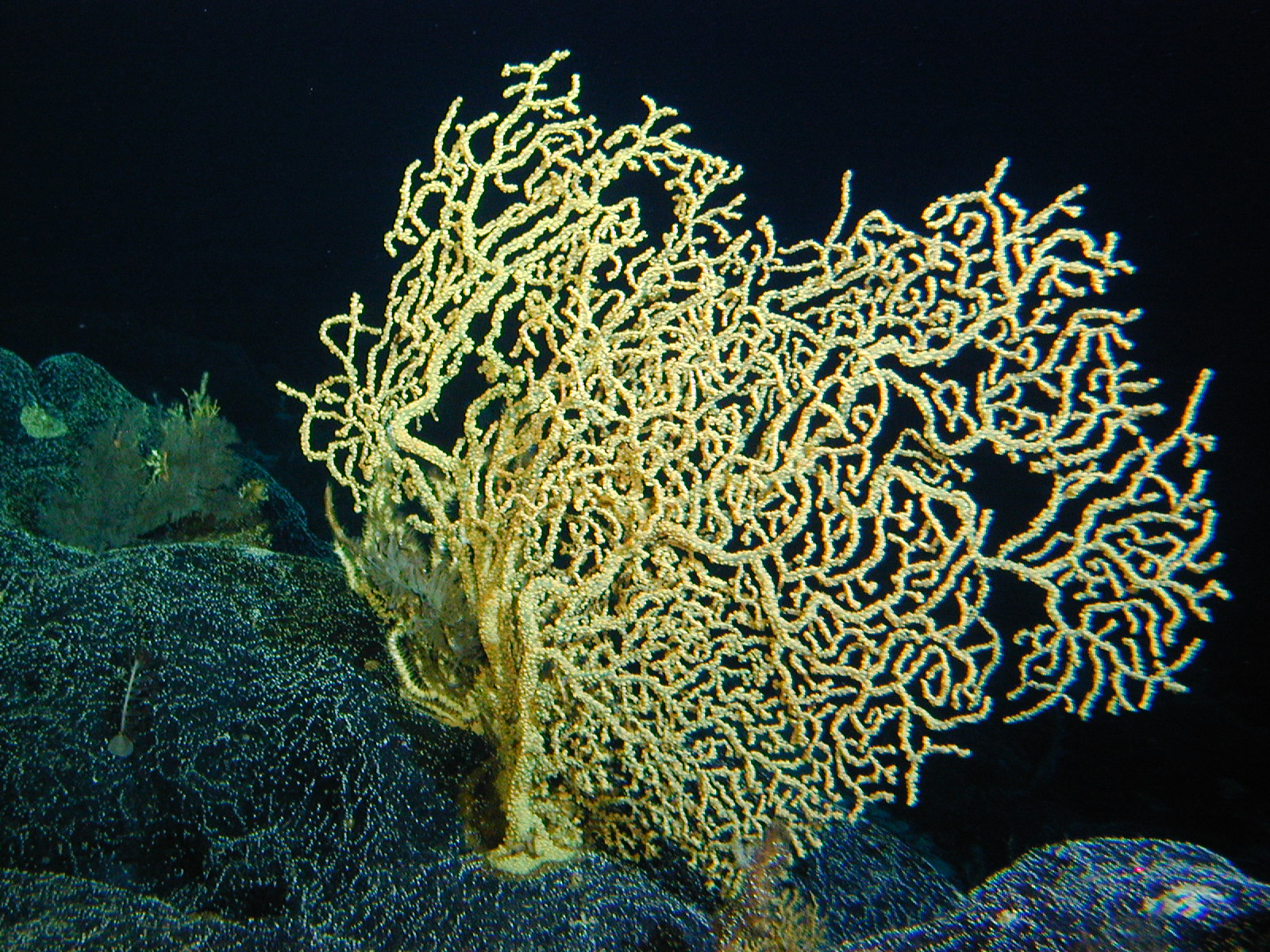 coral_yellow_big.jpg